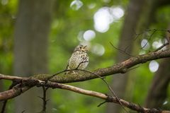 Song Thrush (Turdus philomelos). Spotted outdoors in Dublin Royalty Free Stock Photography