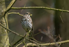 Song thrush Turdus philomelos in spring Royalty Free Stock Photo