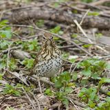 Song Thrush, Turdus philomelos, standing on ground front view close-up portrait, selective focus, shallow DOF.  Royalty Free Stock Image