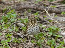 Song Thrush, Turdus philomelos, standing on ground front view close-up portrait, selective focus, shallow DOF.  Royalty Free Stock Photography