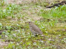 Song Thrush, Turdus philomelos, standing on ground side view close-up portrait, selective focus, shallow DOF.  Stock Image