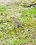Song Thrush, Turdus philomelos, standing on ground side view close-up portrait, selective focus, shallow DOF.  Stock Photo