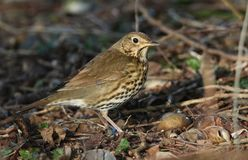 A stunning Song Thrush Turdus philomelos standing on the ground in the sunshine. It has been cracking open a snail on the stone. A Song Thrush Turdus philomelos Stock Photo