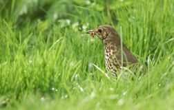 A beautiful Song Thrush Turdus philomelos standing in the long grass with a worm in its beak. A Song Thrush Turdus philomelos standing in the long grass with a royalty free stock photo