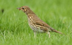 A beautiful Song Thrush Turdus philomelos standing in the long grass with a worm in its beak. A Song Thrush Turdus philomelos standing in the long grass with a stock photography