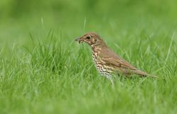 A beautiful Song Thrush Turdus philomelos standing in the long grass with a worm in its beak which it has just captured. A Song Thrush Turdus philomelos Royalty Free Stock Photos