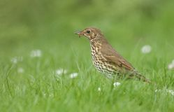 A beautiful Song Thrush Turdus philomelos standing in the long grass with a worm in its beak which it has just captured. A Song Thrush Turdus philomelos royalty free stock photo