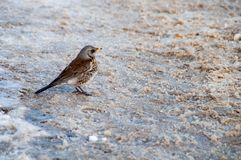 Song Thrush Turdus philomelos on thawed patch. Song Thrush Turdus philomelos on the thawed patch Stock Photo