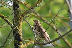 Song Thrush (Turdus philomelos) in Tree. A song thrush perched on a twiggy branch in a tree. There are green leaves in the background and lichen covered branches Stock Images