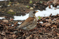 Song thrush Turdus philomelos walking on brown spring ground. Song thrush Turdus philomelos walking on brown spring ground in search of insects Stock Photo