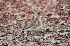 Song thrush Turdus philomelos walking on brown spring ground. Song thrush Turdus philomelos walking on brown spring ground in search of insects Royalty Free Stock Image