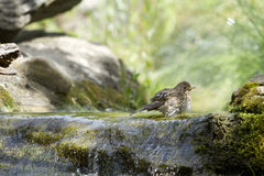 Song thrush. (Turdus philomelos) washing in the bourn Royalty Free Stock Image
