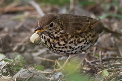 Song thrush Turdus philomelus with broken snail in beak. Songbird in the family Turdidae, in process of smashing snail on rock before eating Royalty Free Stock Photography