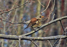 Song Thrush. Song Thrush is very common in Lithuanian`s parks and forests Stock Photography
