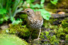 Song Thrush walking on a green background. Song thrush walking on brown ground with grass and a green background stock images