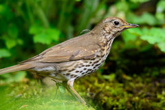 Song Thrush walking on a green background. Royalty Free Stock Photography