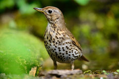 Song Thrush walking on a green background. Stock Image
