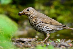 Song Thrush walking on a green background. Song thrush walking on brown ground with grass and a green background royalty free stock image