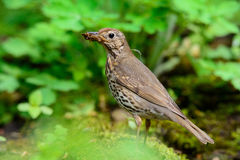 Song Thrush walking on a green background. Stock Images