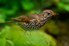 Song Thrush walking on a green background. Royalty Free Stock Photos