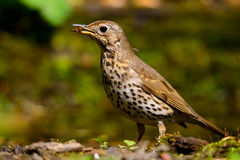 Song Thrush walking on a green background. Stock Photo