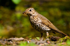 Song Thrush walking on a green background. Royalty Free Stock Photo
