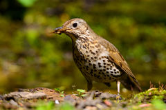 Song Thrush walking on a green background. Stock Photos