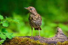 Song Thrush walking on a green background. Song thrush walking on brown ground with grass and a green background stock photo
