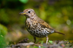 Song Thrush walking on a green background. Song thrush walking on brown ground with grass and a green background royalty free stock photos