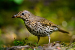 Song Thrush walking on a green background. Royalty Free Stock Images