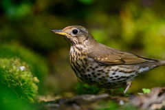 Song Thrush walking on a green background. Song thrush walking on brown ground with grass and a green background royalty free stock images