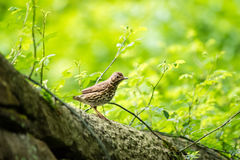 Song Thrush on wall in vibrant green English park. Shallow depth of field Stock Images
