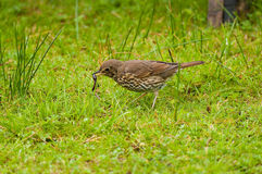 Song Thrush with worm. A Song Thrush feeding on a lawn with a worm in its beak royalty free stock image