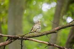 Song Thrush (Turdus philomelos) Royalty Free Stock Photos