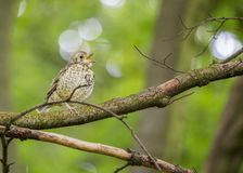 Song Thrush (Turdus philomelos) Royalty Free Stock Photography