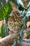 Song thrush Royalty Free Stock Images