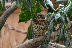 Song thrush. Young song thrush sitting on a branch Royalty Free Stock Photography