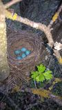 Song Trush Eggs. A song trush nest in the forest Stock Images