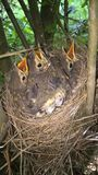 Song Trush. A picture of a nest with song thrush babies Royalty Free Stock Photos