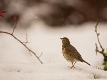 Song Trush on the snow. A Song Thrush (Turdus philomelos) walks on the snow while some snow flocks fall Royalty Free Stock Images