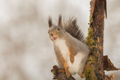 Song for us. Close up of a red squirrels on a tree with open mouth Stock Photo