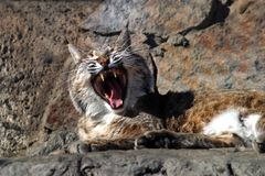 Song of a wild cat. The image of a wild cat with an open mouth royalty free stock images