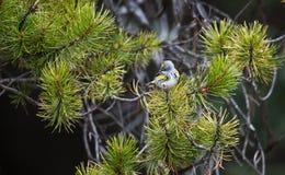 songbird arkivfoto