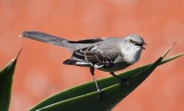 songbird royaltyfria bilder