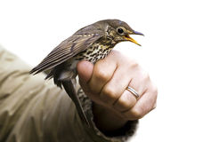 Songbird. Isolated trush sitting on the hand Royalty Free Stock Photo