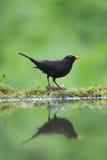 Songbird. A photo of a songbird stock images