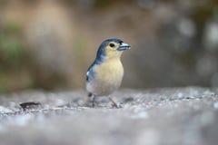 songbird Photo stock