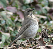 Songbird Belobrova thrush. Autumn bird flew to the strawberry patch royalty free stock photography