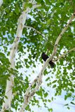 A songbird of a blackbird sitting on a birch branch. In a city park Stock Image