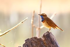 Songbird, the Bluethroat sitting  on a dry stump. The figure on the throat, smoothly rolling on the chest, has a cobalt blue color. The bottom is outlined with Stock Photography